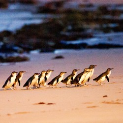 Phillip Island & Penguin Parade Day Tour